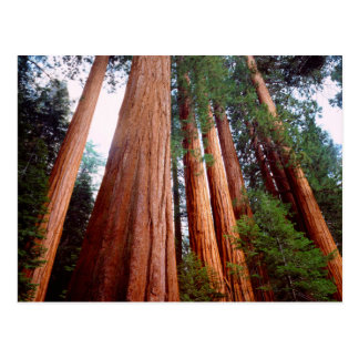 Old-growth Sequoia Redwood trees Post Cards