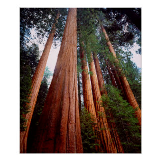 Old-growth Sequoia Redwood trees Poster