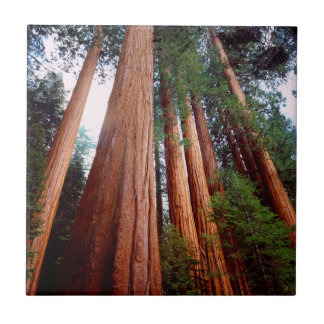 Old-growth Sequoia Redwood trees Tile