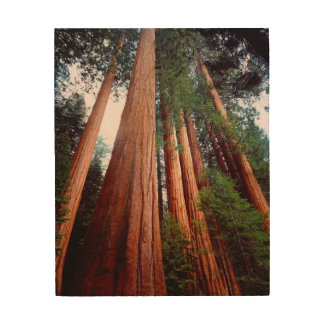 Old-growth Sequoia Redwood trees Wood Canvases