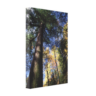 old growth trees gallery wrap canvas