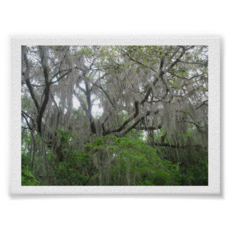 Old Live Oak Tree  with Moss Poster