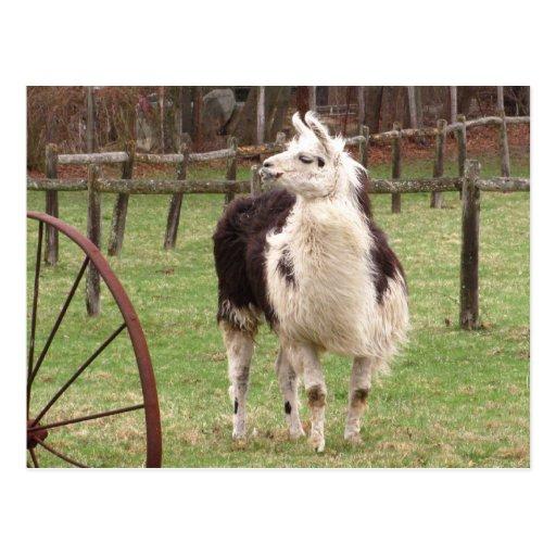 Old Llama ~ postcard