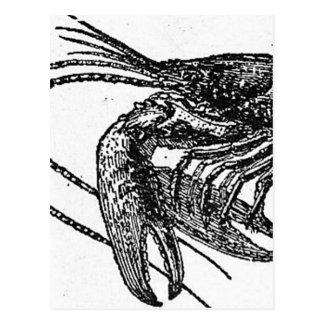 Old Lobster Drawing Postcard
