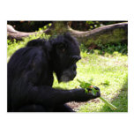 Old Man Chimp Postcard
