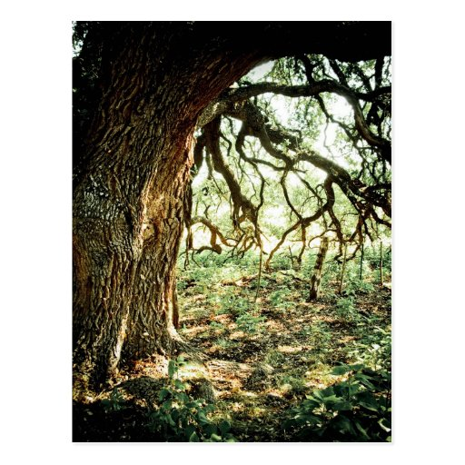 Old Oak Tree Post Card