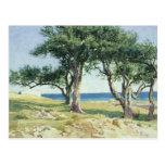 Old Olive Trees, Bordighera Post Card
