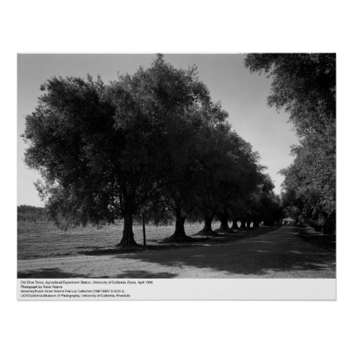 Old Olive Trees, University of California, Davis Posters