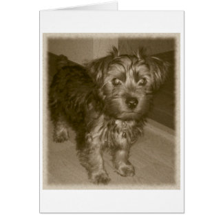 Old photo Cute Silky Yorkie Terrier Card
