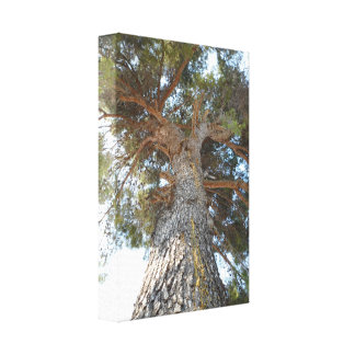Old Pine Stretched Canvas Prints