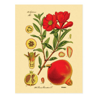 Old Pomegranate Illustration Postcard