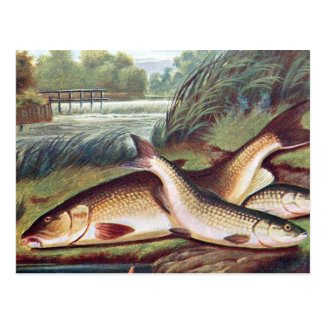 Old Postcard - Barbel and Chub