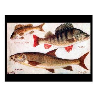 Old Postcard - Ruffe, Perch and Barbel