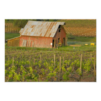 Old red barn at the edge of Zinfandel vineyard Photo Print