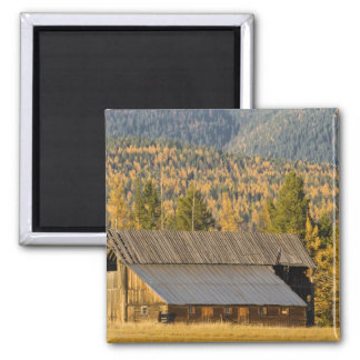 Old wooden barn with autumn tamaracks near magnet