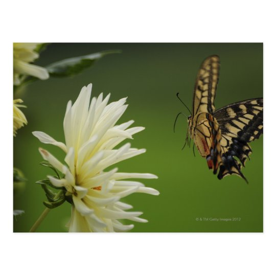 Old World Swallowtail Flying Postcard