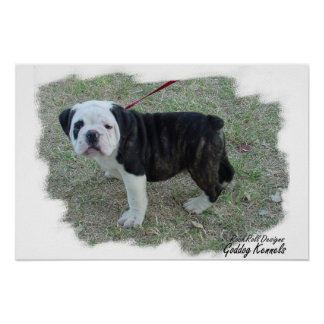 Olde English Bulldogge Puppy Poster