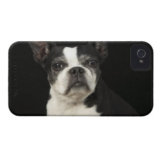 Older Bosten Terrier on black background iPhone 4 Cover