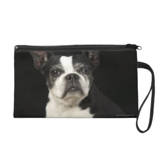 Older Bosten Terrier on black background Wristlet