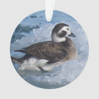 Oldsquaw Long tailed Duck on ice in the Ocean