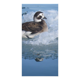 Oldsquaw Long tailed Duck on ice in the Ocean Card