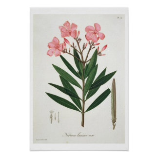 Oleander from 'Phytographie Medicale' by Joseph Ro Print