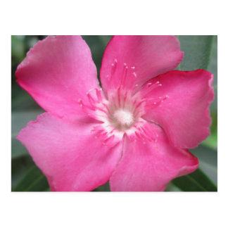 Oleander Pink Flower Postcard