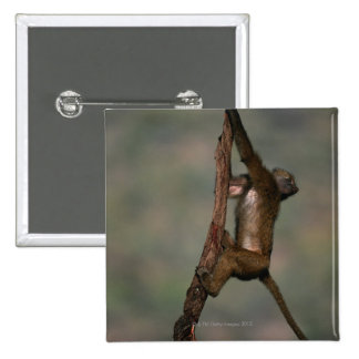 Olive baboon (Papio anubis) climbing on branch, Button