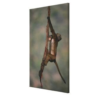 Olive baboon (Papio anubis) climbing on branch, Canvas Print
