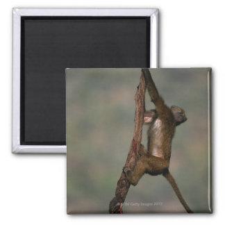 Olive baboon (Papio anubis) climbing on branch, Fridge Magnet