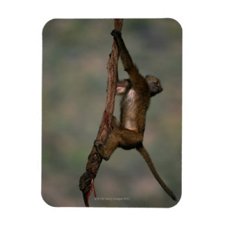 Olive baboon (Papio anubis) climbing on branch, Flexible Magnets