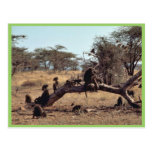 Olive Baboons Postcard