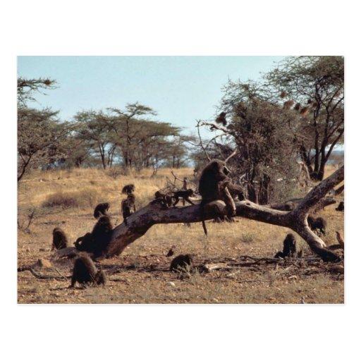 Olive Baboons Postcards