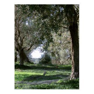 Olive Grove Postcard