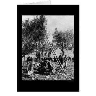 Olive Harvest Palestine 1886 Card
