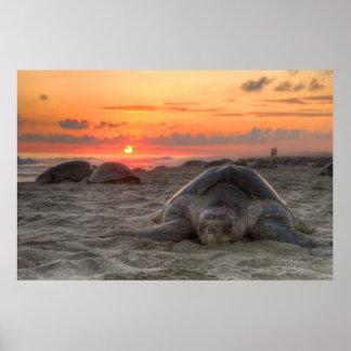 Olive Ridley Turtle nesting on Escobilla Oaxaca Poster