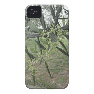 Olive tree branches with first buds . Tuscany, Ita iPhone 4 Case