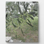 Olive tree branches with first buds . Tuscany, Ita Plaque