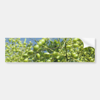 Olive Tree in Israel Bumper Sticker