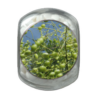 Olive Tree in Israel Jelly Belly Candy Jars