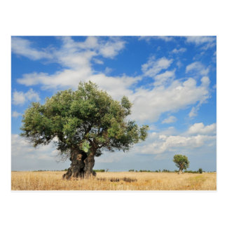Olive tree post cards