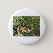 Olive tree with ripe olives and tractor button