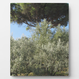 Olive trees with pine tree as background plaque