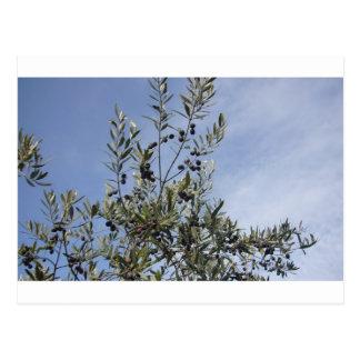 Olives Against a Blue Sky Postcard