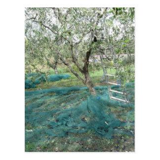 Olivo en el jardín postales