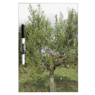 Olivo mediterráneo en Toscana, Italia Pizarras Blancas De Calidad