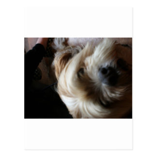 Ollie dog lhasa apso head upside down surprise postcard