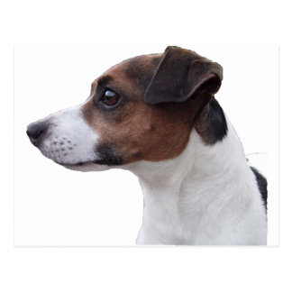 Ollie the Jack Russell Post Cards