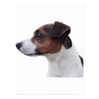 Ollie the Jack Russell Postcard