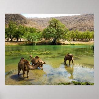 Omán, darbat del lecho de un río seco, dromedarios poster